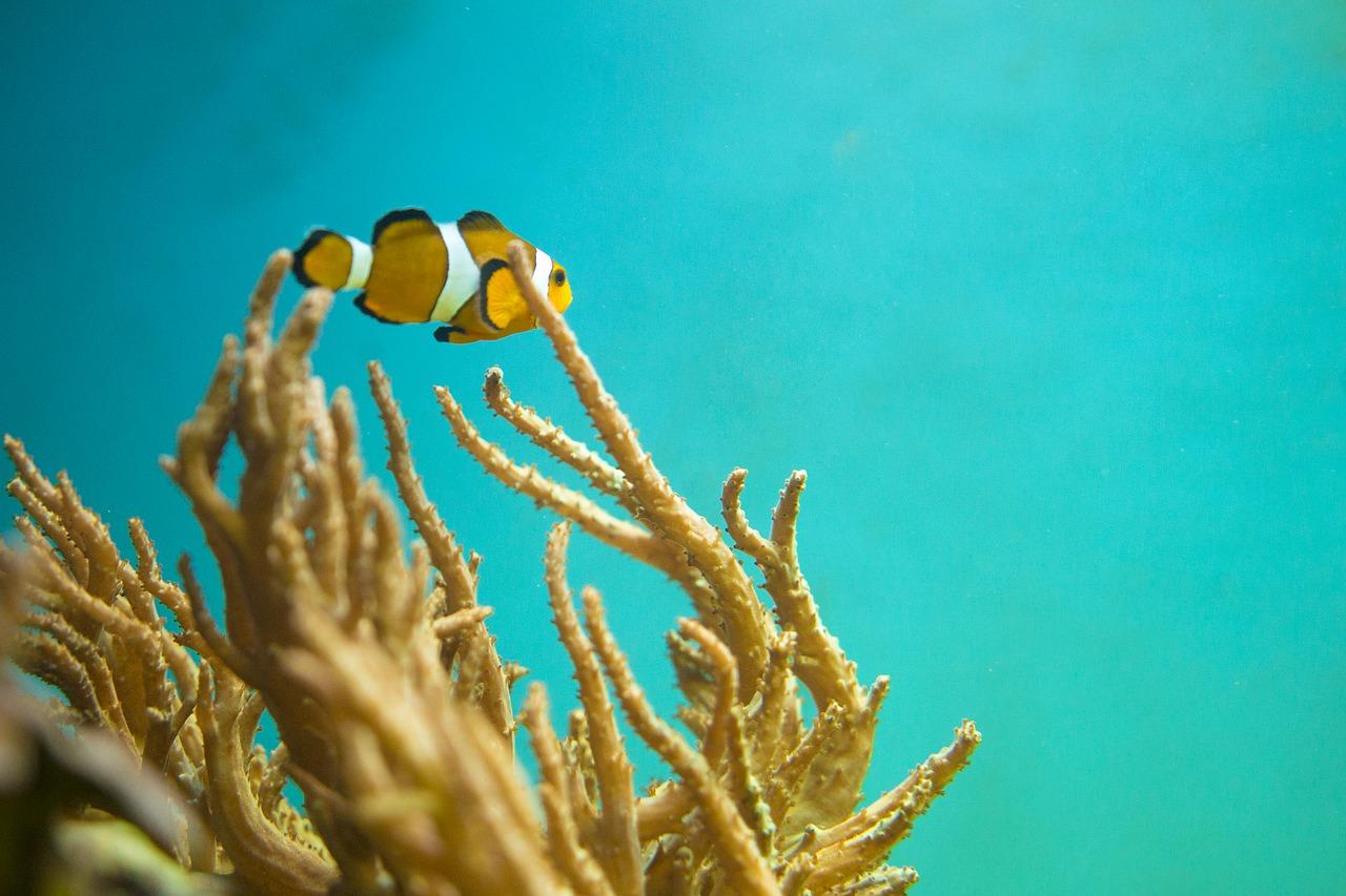 Jak zachowują się błazenki w akwarium?