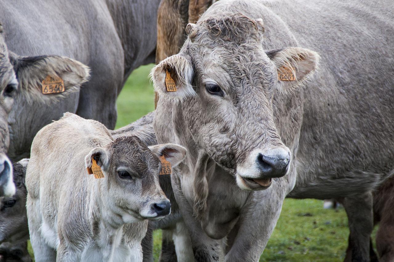 Karmienie zwierząt hodowlanych- młóto