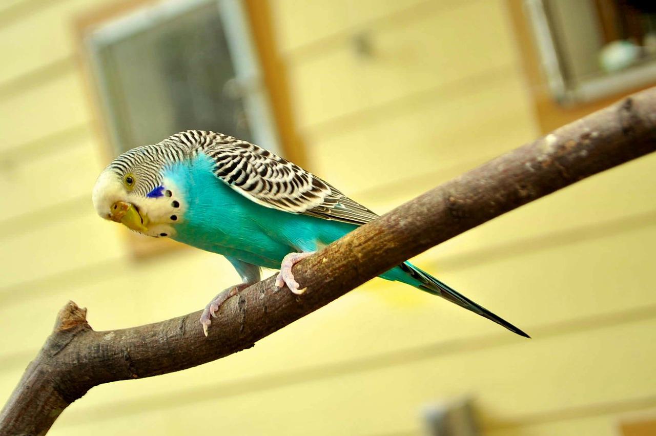 Żywienie papug falistych